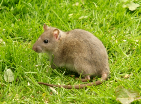 rat Home Remedies to Get Rid of Mice