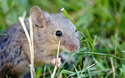 mouse in grass, Home Remedies to Get Rid of Mice